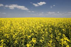 Free Rape Field Royalty Free Stock Photos - 5029468
