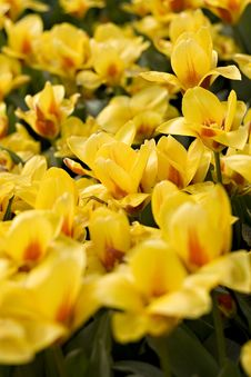 Free Close Up Picture Of Yellow Tulips Royalty Free Stock Images - 5029779