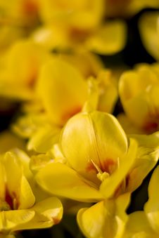 Free Close Up Picture Of Yellow Tulips Stock Images - 5029794
