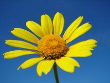 Free Yellow Daisy Stock Photos - 5029923