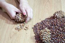 Free Woman Takes Nuts From Cedar Cones Royalty Free Stock Images - 50278559