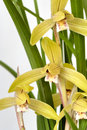 Free Orchid  Jin He Ding  Royalty Free Stock Image - 5036746