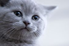 British Little Blue Kitten Royalty Free Stock Images