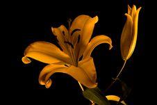 Free Yellow Lily Stock Photos - 5031003