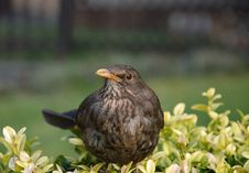 Free Blackbird Stock Photography - 5032032