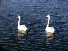 Free Swans On Lake Royalty Free Stock Image - 5032226