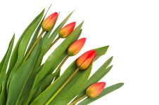 Free Red Tulips Royalty Free Stock Images - 5032369