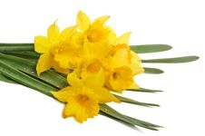 Free Yellow Narcissus Royalty Free Stock Image - 5032496