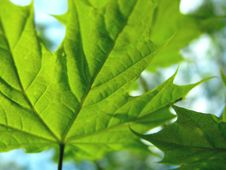 Free Maple Leaf Royalty Free Stock Image - 5032906