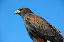 Free Bird Of Prey Royalty Free Stock Image - 5033736