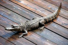 Free Alligator Royalty Free Stock Photos - 5033888