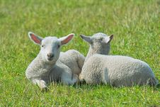 Free Two Lambs In The Grass Royalty Free Stock Photo - 5034015