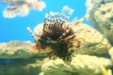 Free Lion Fish Stock Photography - 5035042