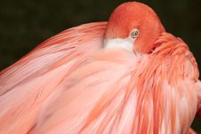 Free Flamingo Royalty Free Stock Photo - 5035985