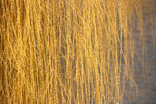 Free Weeping Willow Royalty Free Stock Photo - 5036345