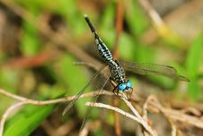 Free Blue Eyed Dragonfly Royalty Free Stock Image - 5036346