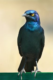 Free Glossy Starling Royalty Free Stock Image - 5036706