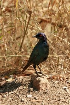 Glossy Starling On Rock Stock Photography