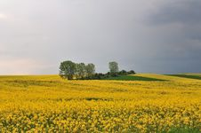 Yellow Rape Seed Field Royalty Free Stock Images