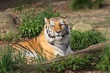 Free Lone Tiger Stock Photography - 5038662