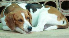 Free Beagle Dog Royalty Free Stock Images - 5038819