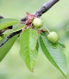Unripe Wet Cherries On The Tree Royalty Free Stock Photo