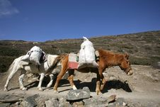 Free Donkeys Carrying Heavy Loads, Annapurna Royalty Free Stock Images - 5039559