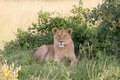 Free Lioness Resting Royalty Free Stock Photography - 5040807