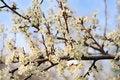 Free Tree In Full Blossom Royalty Free Stock Photos - 5040968