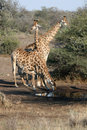 Free Giraffe Family Drinking Stock Photos - 5044713