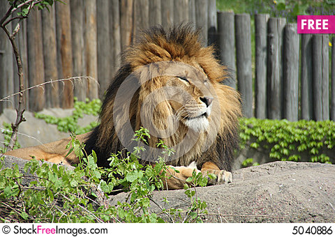 Free Lion Royalty Free Stock Image - 5040886