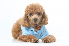 Free Toy Poodle Stock Images - 5040274