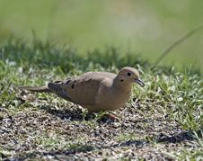 Free Mourning Dove Stock Photos - 5040493