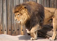 Free Lion Stepping Royalty Free Stock Image - 5040896