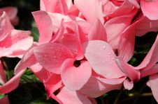 Free Cyclamen Flowers In Close-Up View Stock Photos - 5040963