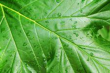 Free Green Leaf Royalty Free Stock Photo - 5040965