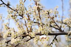 Free Tree In Full Blossom Royalty Free Stock Photos - 5040968