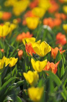 Free Tulips Stock Photography - 5041012