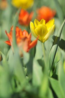Free Yellow Tulip Stock Image - 5041021