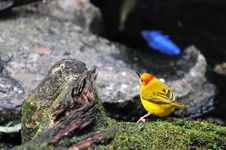 Free Golden Weaver Bird Royalty Free Stock Photos - 5041088