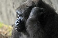 Free Face Of Gorilla Royalty Free Stock Photo - 5041095