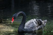Free Black Swan On The Water Royalty Free Stock Image - 5041116