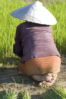 Free Rice Farmers In Northern Thailand Stock Photo - 5041760