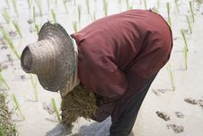 Free Rice Farmers In Northern Thailand Stock Photos - 5041793