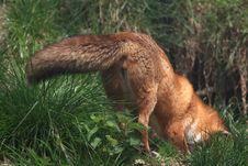 Free Red Fox Stock Image - 5042021