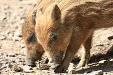 Free Wild Pig Stock Photos - 5042373