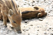 Free Wild Pig Royalty Free Stock Photography - 5042377
