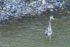 Great Gray Heron Royalty Free Stock Images