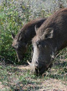 Warthog Pair Royalty Free Stock Photos
