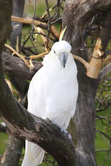 Free Cockatoo Royalty Free Stock Photography - 5043597